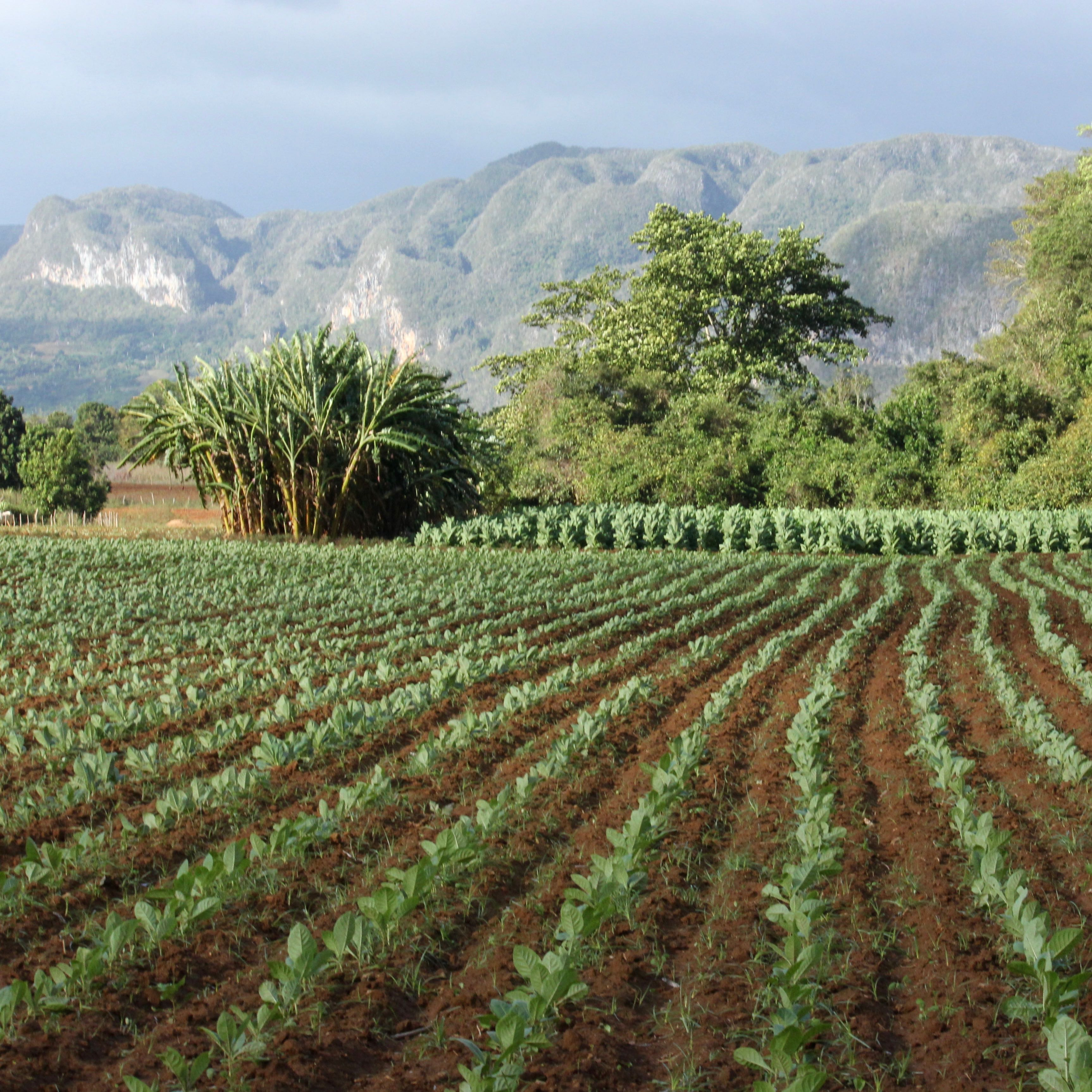 vinales, Cuba tobacco